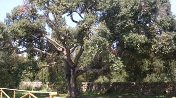 antica quercia